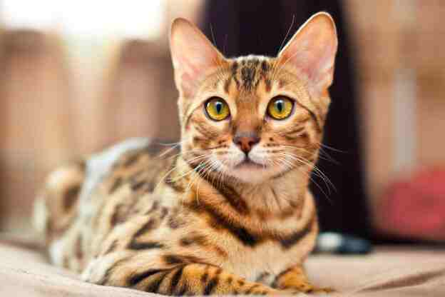 5 Important Facts To Keep In Mind Before Getting A Bengal Cat