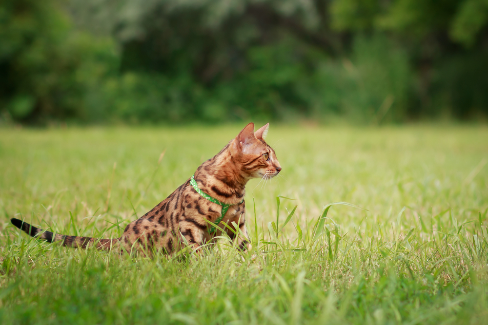 Bengal Cat Breed Size Appearance Amp Personality