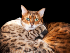 bengalcat overview (1)
