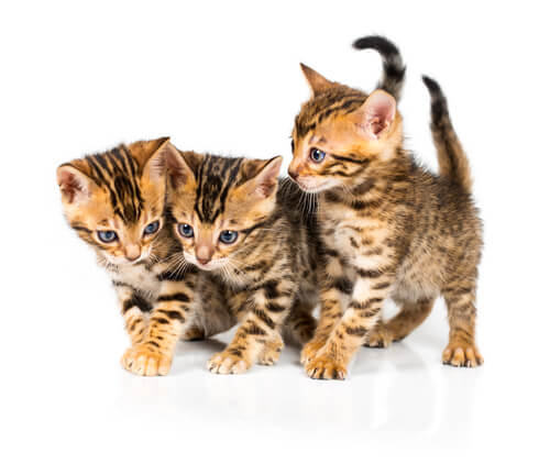 Marble bengal cat names