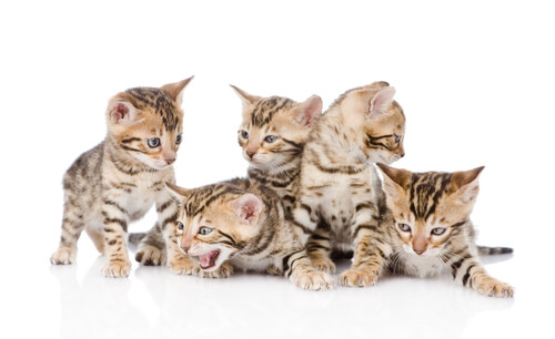 Exotic male bengal cat names