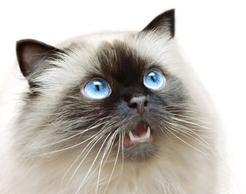 Himalayan cat health issues