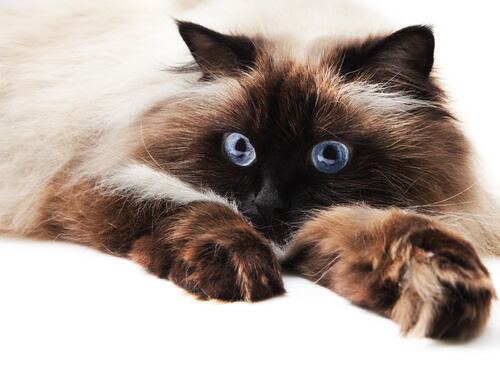 Himalayan cat male names