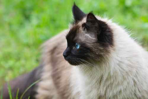 55 Cool And Clever Names For Siamese Cats We Re All About Cats