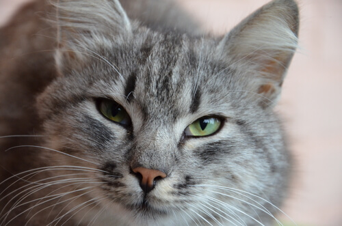 cat urinary issues