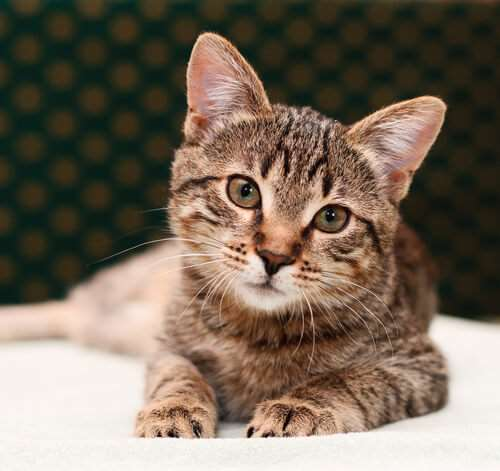 Tabby Cats 101 Colors Lifespan Personality And Fun Facts We Re All About Cats
