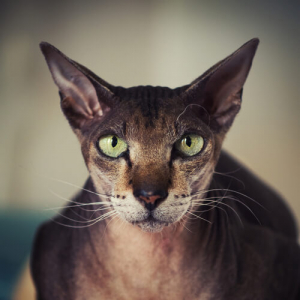 Peterbald Cat Breed→ Breed Personality, Temperament, & Fun