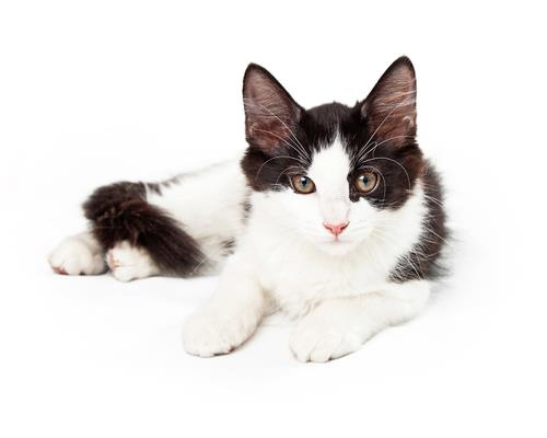 cat breeds with long whiskers