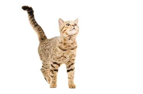 Bengal Cats. Bengal Cat Owners Manual. Guide to owning a ...