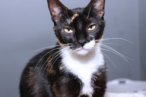 b43926b2382 There are 3 well known types of calico cats: Dilute, Tortoiseshell, and  Patched Tabby. As we mentioned earlier, calicos are not a breed, but rather  a color ...
