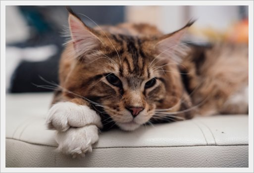 101 Most Popular Main Coon Cat Names of 2019