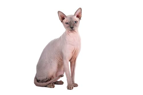 Best Cat Food for Sphynx Cats 2019 , We\u0027re All About Cats