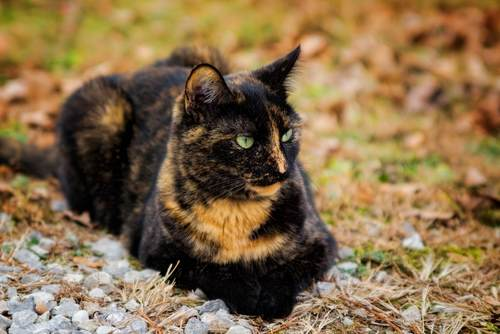 tortoiseshell cat breed