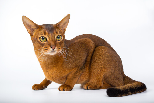 Abyssinian Cat Care