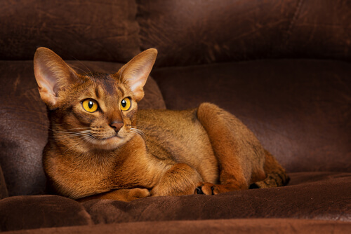 Abyssinians Cats1