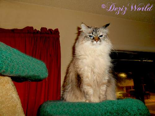 This Awesome Cat Blogs Tells The Tale Of Deztinee Izabella A Ragdoll And Service For Her Disabled Human Mommy She Works Alongside