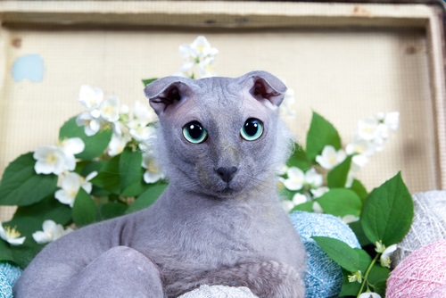 6 Hairless Cat Breeds You Should Know About