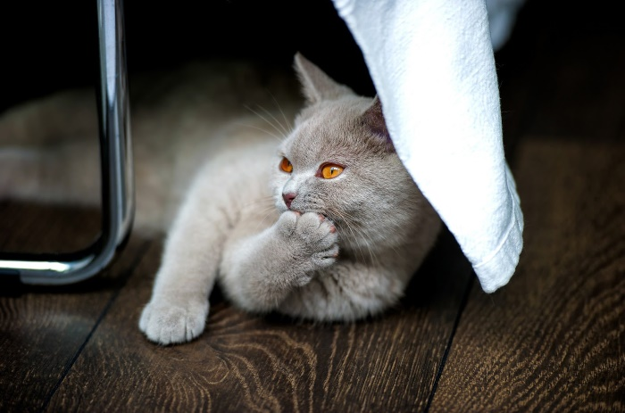 British Shorthair CFA Top Cat Breeds