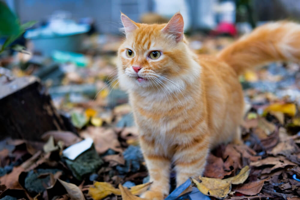 Orange Tabby Cats Facts Lifespan Intelligence We Re All About Cats