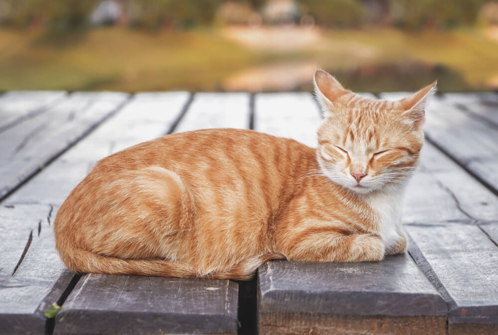 male orange tabby cat