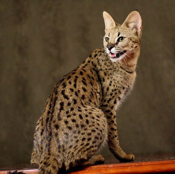 11 Things You Didn T Know About Savannah Cats We Re All About Cats