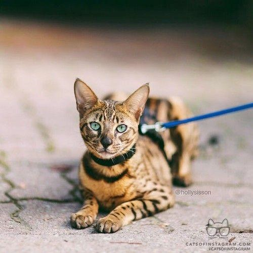 The Savannah cats