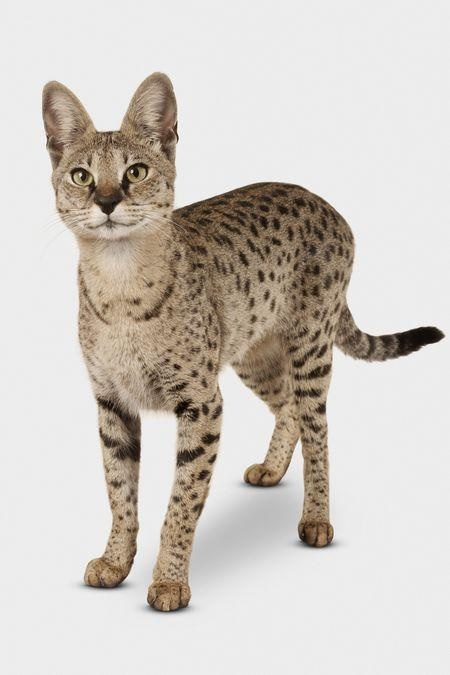image Savannah cat