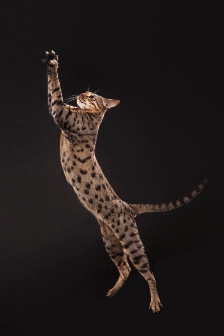 11 Amazing Facts About Savannah Cats - We're All About Cats