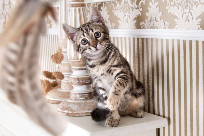Bengal Cat Personality and Temperament (1)