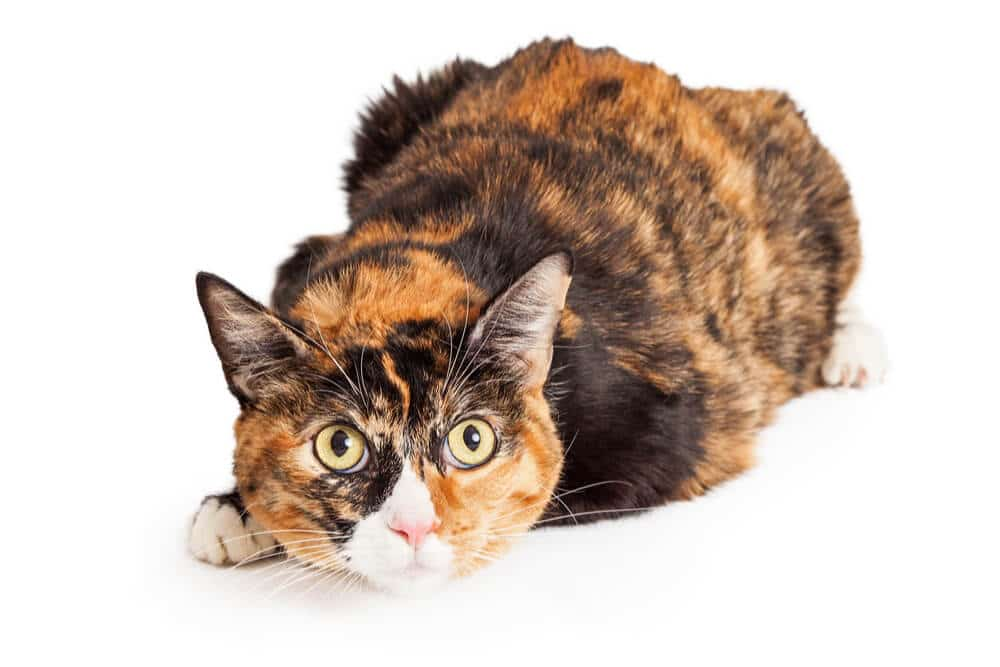 Calico Cats Genetics Personality Lifespan And Intelligence