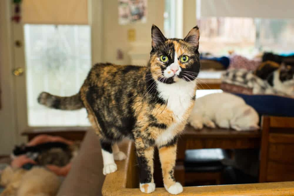 Calico cat health and lifespan