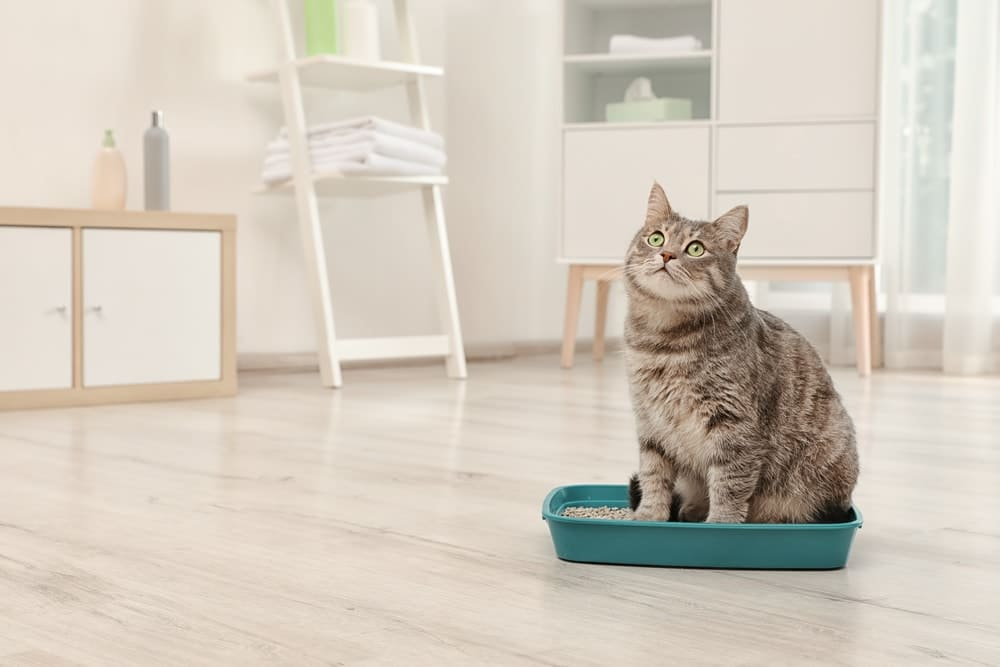 Urinary Tract Infection in Cats Feature