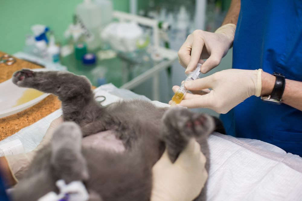 veterinarian uses a syringe to drain urine from cat's bladder