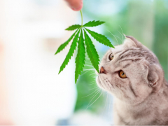 CBD oil for cats cat sniffing cannabis leaf