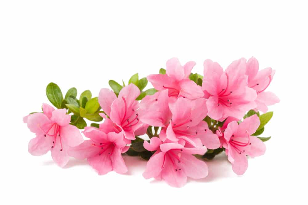 Bundle of pink azaeleas is toxic to cats