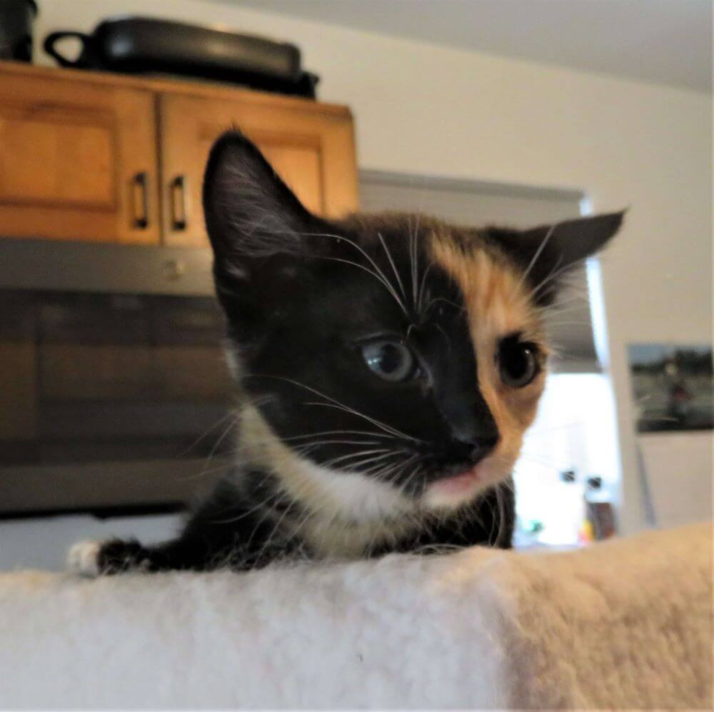 Calico kitten at Kitty Mom's Rescue