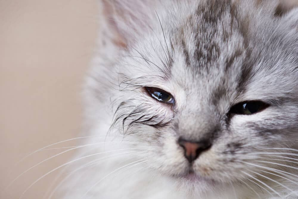 Young cat with leaking infected eye