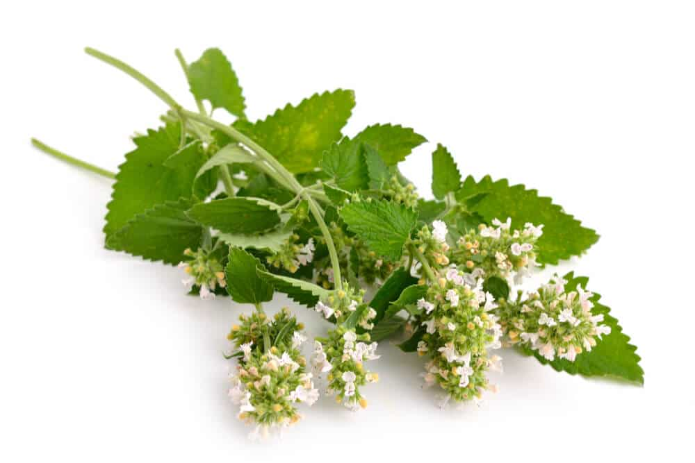 Bundle of catnip leaves, stems, and blossoms