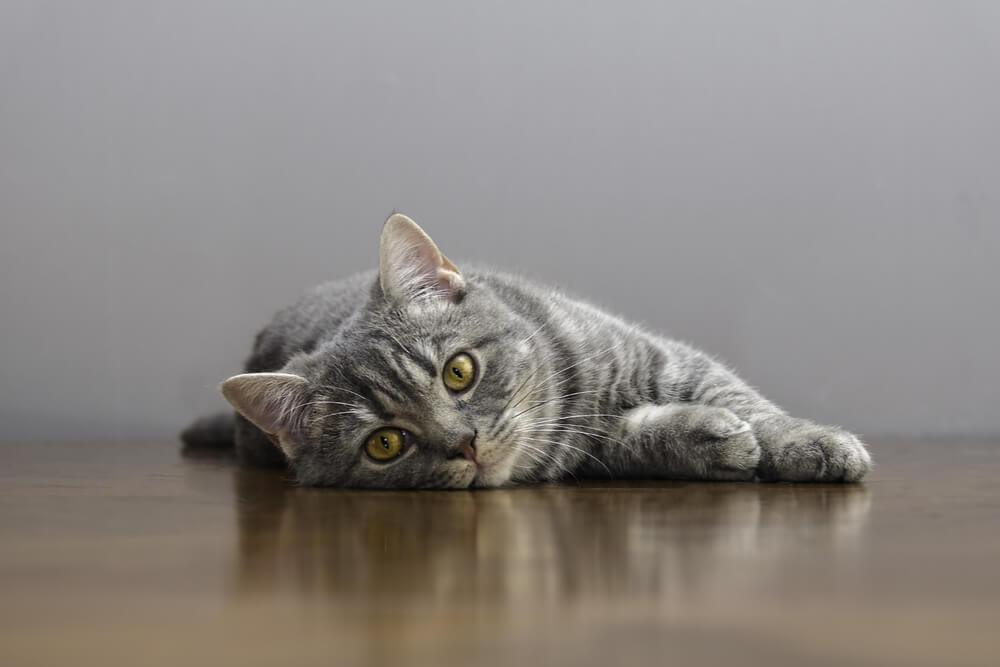 Feline AIDS featured image cat lying on the floor