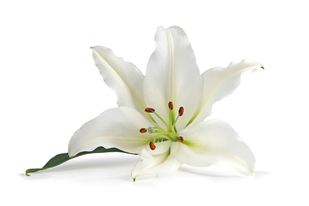 White lily is a plant poisonous to cats