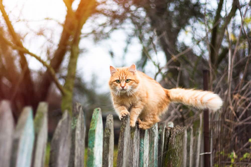 Cat Rabies Vaccination for Outdoor Cats