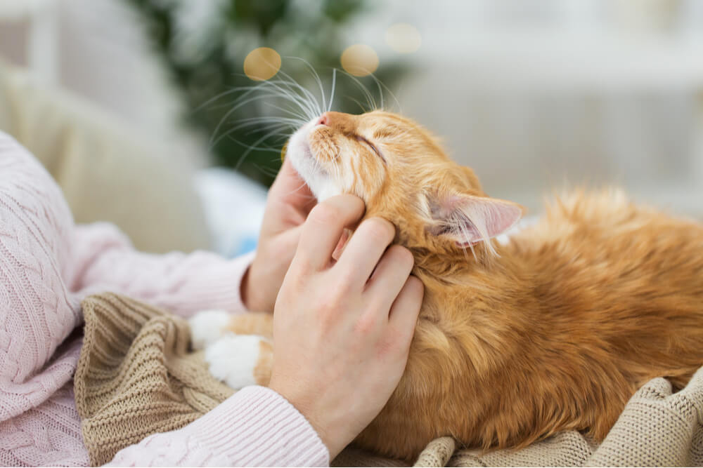 How to Make a Cat Love You Cat on Lap