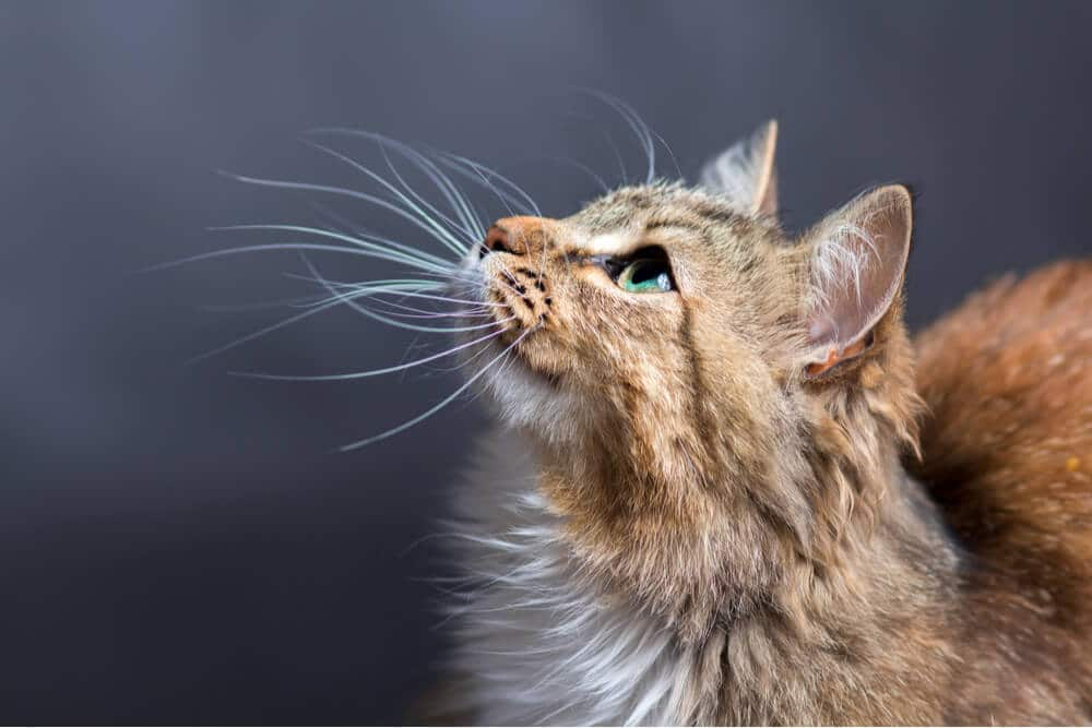 whisker fatigue article featured image
