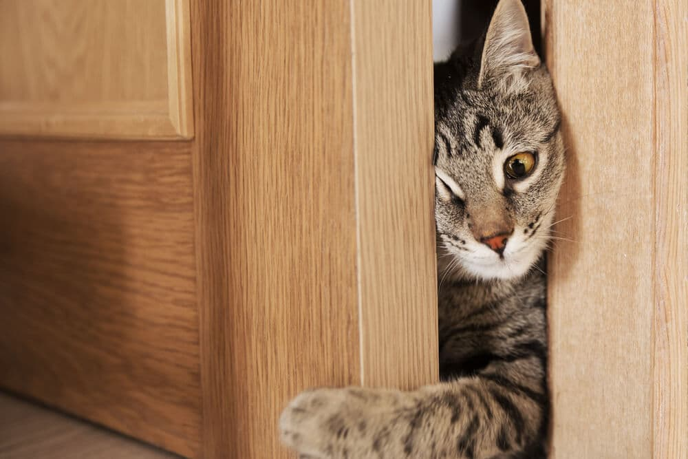 Why do cats have whiskers image of cat squeezing through doorway