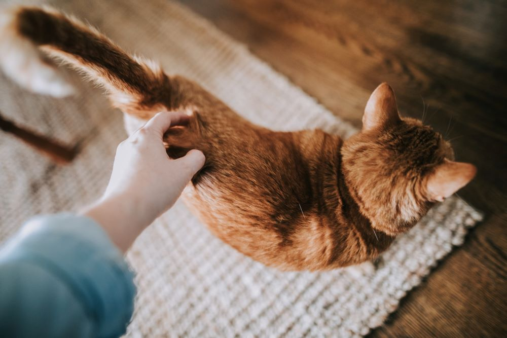Person petting the back of an orange cat losing hair