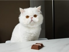 Cat with chocolate poisonous to cats