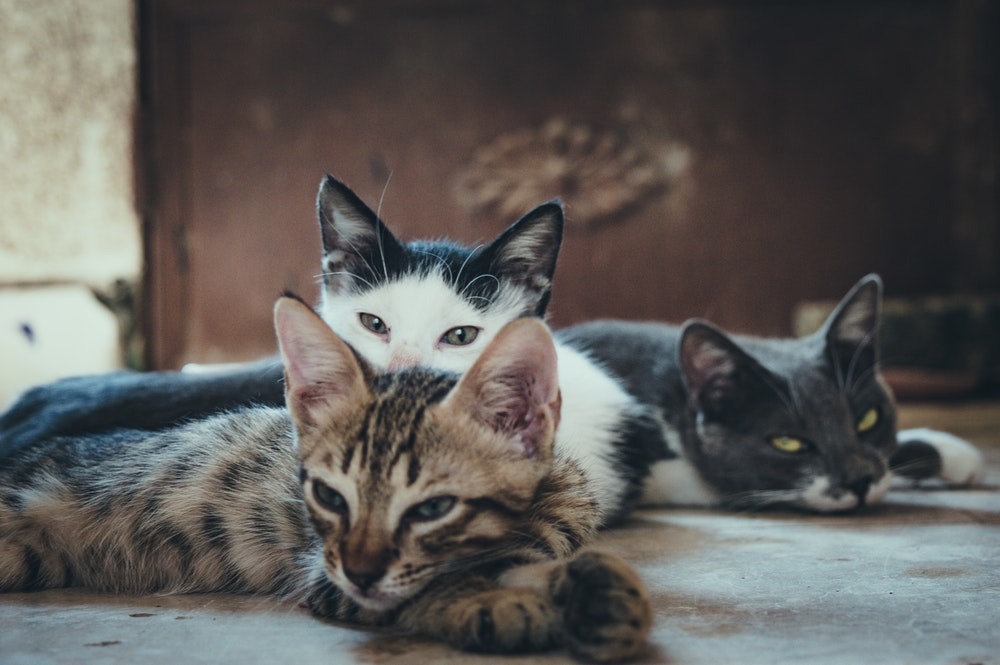 Photo of a group of cats with potential for feline leukemia transmission