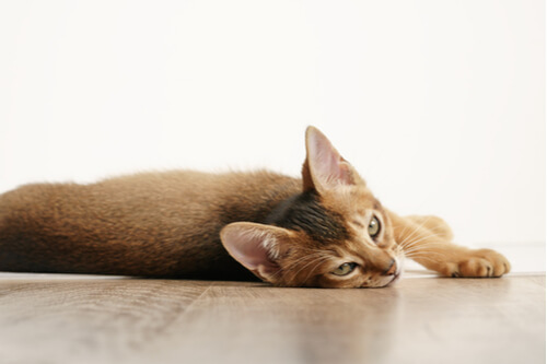 About the Abyssinian Cat