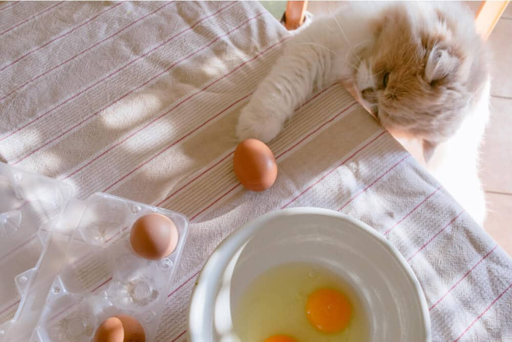 Cat looking at egg yolks and whites on a table