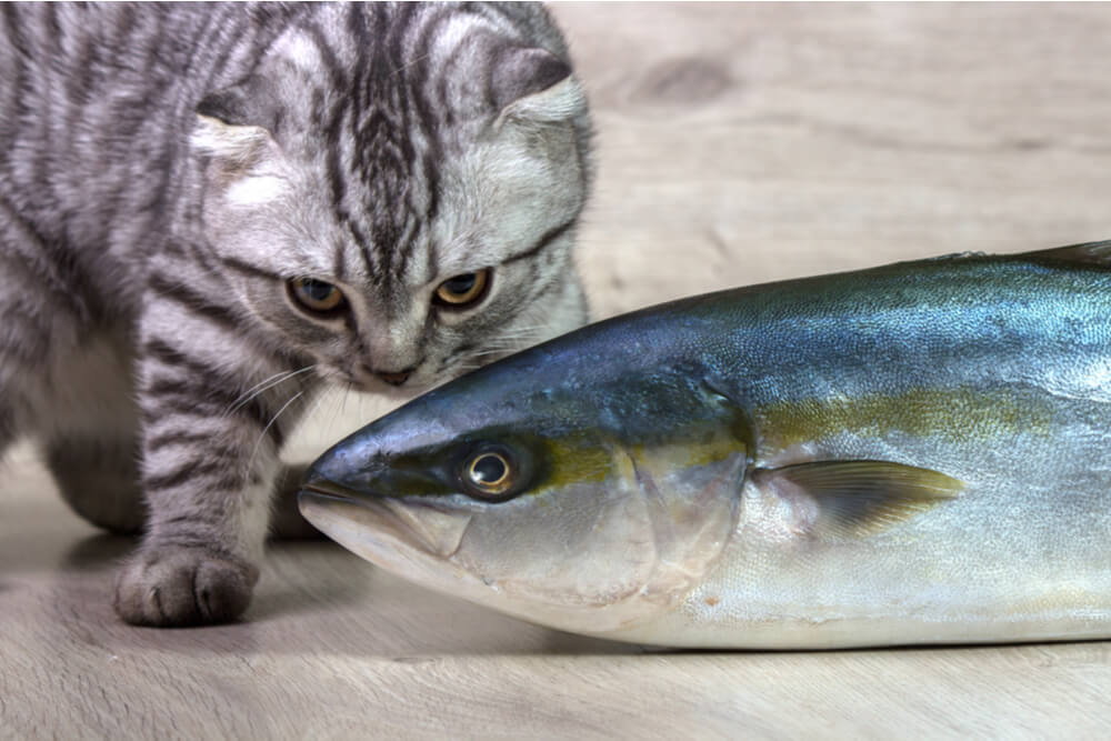 Can Cats Eat Tuna Feature